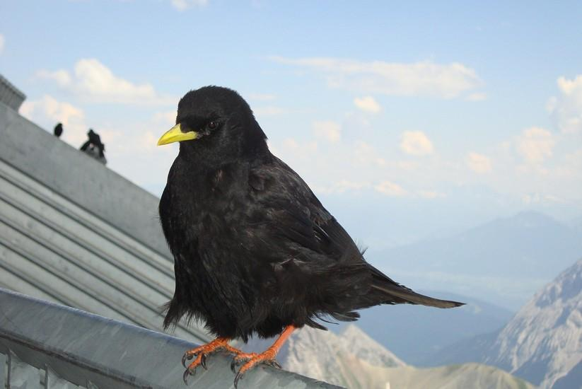 The Jackdaw – a chimney sweeps arch nemesis